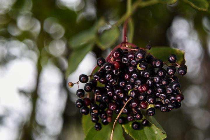 bezové plody