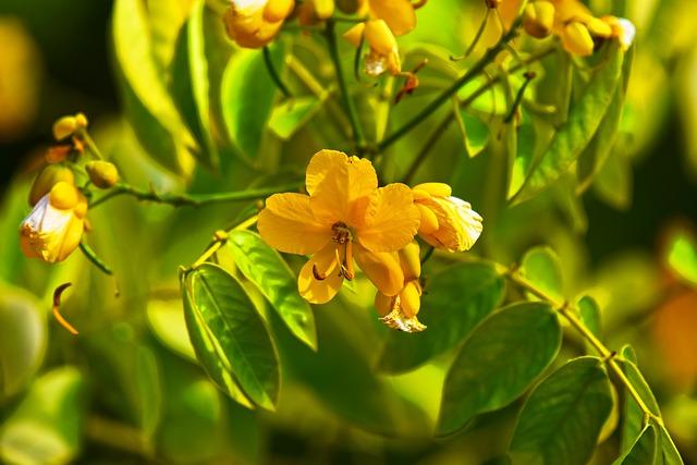 rostlina senna.jpg