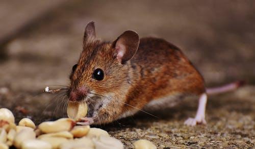 Jak účinně vyhubit doma myši? Zkuste je odlákat, aniž byste je museli zabíjet!